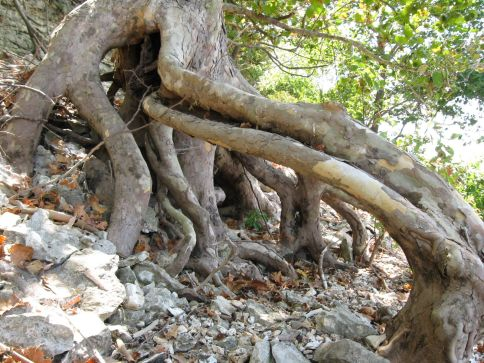 Sycamore roots